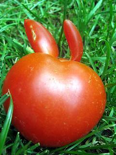 FOTKA - ocáskaté rajčátko