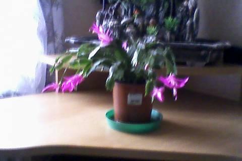 FOTKA - kaktus..prej vánoční