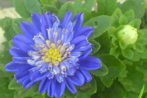 FOTKA - Modrá kytka