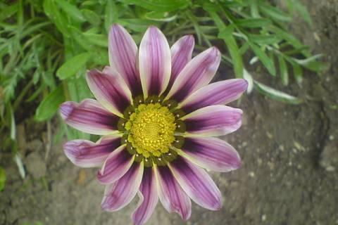 FOTKA - Růžovofialová kytka