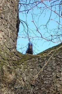 FOTKA - Veverka na stromě