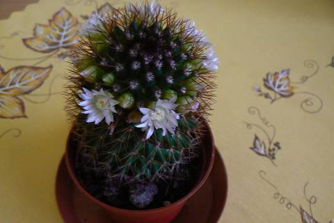 FOTKA - kaktus na stole