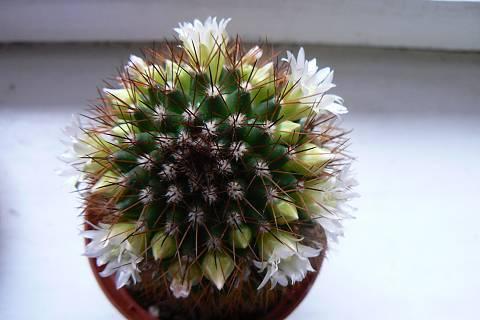 FOTKA - kaktus bílý