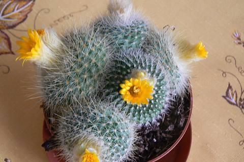 FOTKA - kaktus žlutý