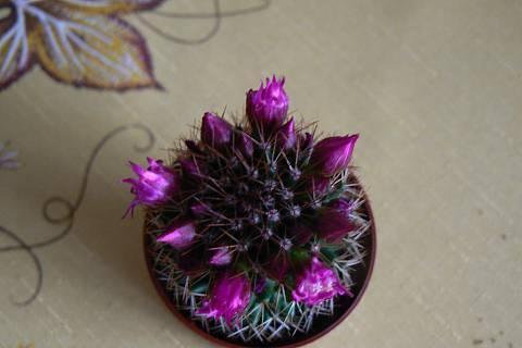 FOTKA - kaktus fialový