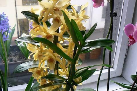 FOTKA - žlutá orchidej v plné kráse