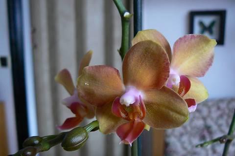 FOTKA - orchidej 13