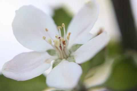 FOTKA - Květy jabloně V.