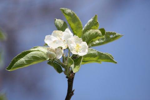FOTKA - Květy jabloně VI.