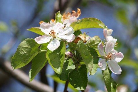 FOTKA - Květy jabloně VII.