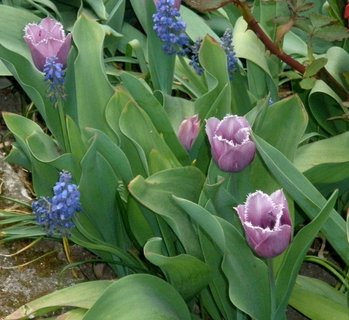 FOTKA - Fialové tulipány