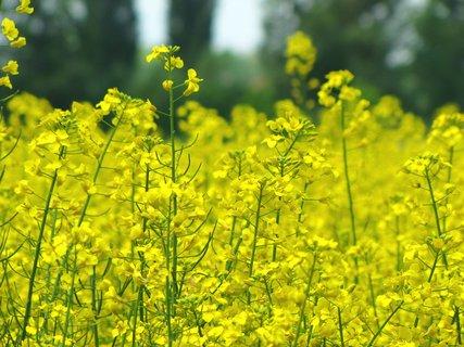 FOTKA - Záběr na žlutou řepku