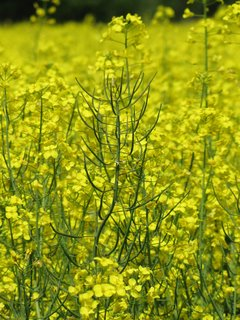 FOTKA - Detail žluté řepky