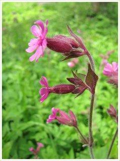 FOTKA - Růžová rostlinka