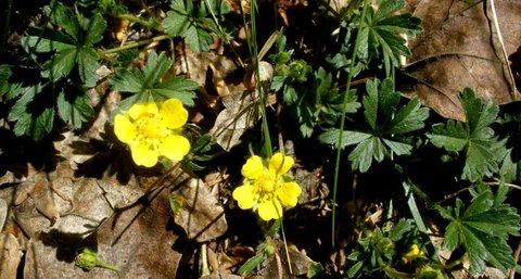 FOTKA - Ranunculus