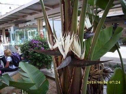FOTKA - květ banánu v Palermu na nádraží