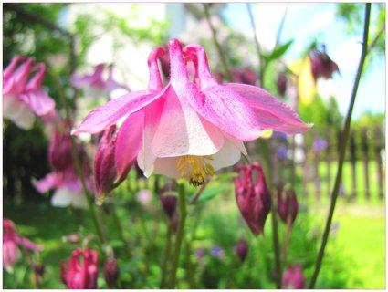 FOTKA - Růžovobílý květ orlíčku