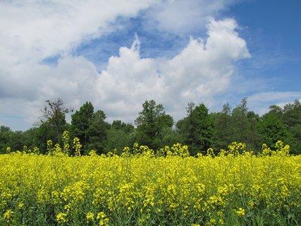 FOTKA - Jarní záběr s řepkou a oblaky