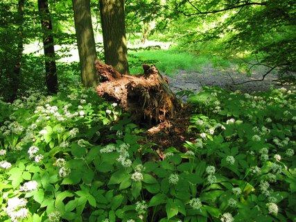FOTKA - Záběr se strouchnivělým dřevem a česnekem medvědím