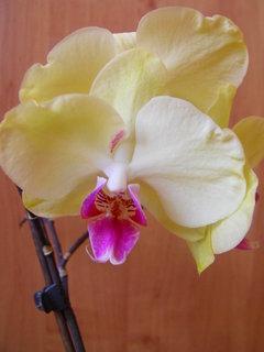 FOTKA - Žlutá orchidej