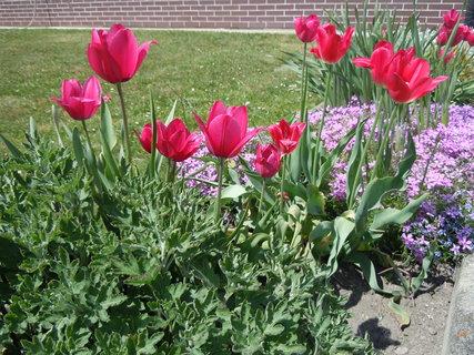 FOTKA - Tulipány a skalničky