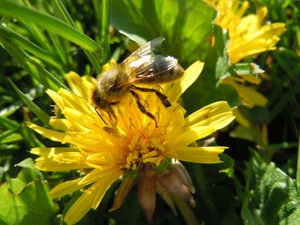 FOTKA - Pampeliška a včelka