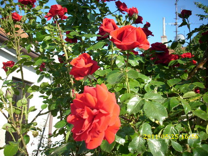 FOTKA - Růže *