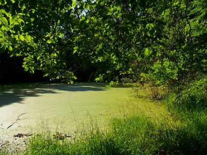 FOTKA - včerejší cyklistika, rybník je bez přítoku, proto tolik žabince...
