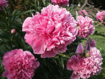 FOTKA - Krásné květy pivoněk