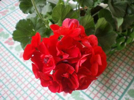 FOTKA - Květ červeného muškátu