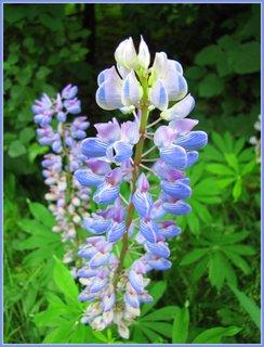 FOTKA - Modrá rostlina