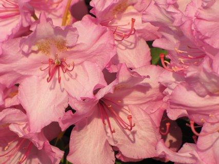 FOTKA - Detail květů rododendronu
