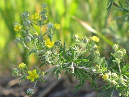 FOTKA - Rostlina se žlutými kvítky