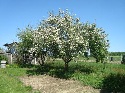 FOTKA - kvetoucí jabloně