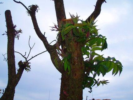 FOTKA - obrůstající škumpa