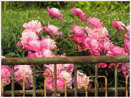 FOTKA - Houf pivoní koukajících přes plot