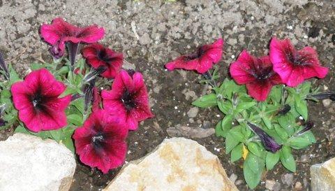 FOTKA - Červená petunie