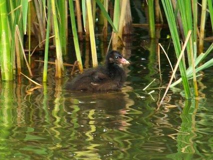 FOTKA - rybník Ohrada, mrňousek v rákosí čeká na houstičku