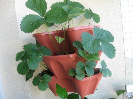 FOTKA - jahody na balkóně