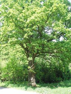 FOTKA - Lípa - chráněný strom