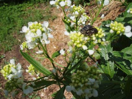FOTKA - květ křenu