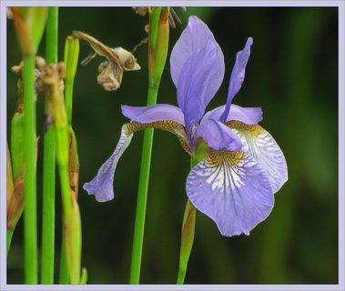 FOTKA - Záběr na květ kosatce