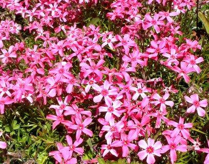 FOTKA - Růžové skalničky
