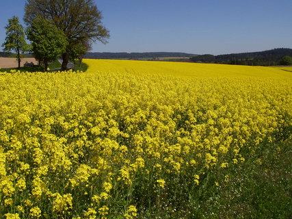 FOTKA - řepka, řepka a zase řepka....je vůbec někde obilí či kukuřice ???