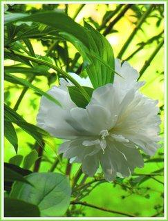 FOTKA - Bílý květ pivoňky