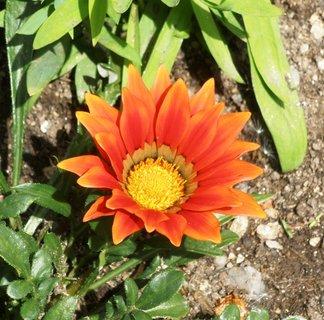 FOTKA - Květ gazánie