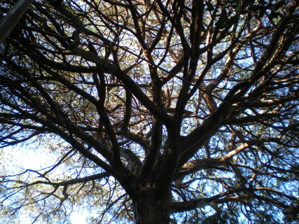FOTKA - v korune borovice