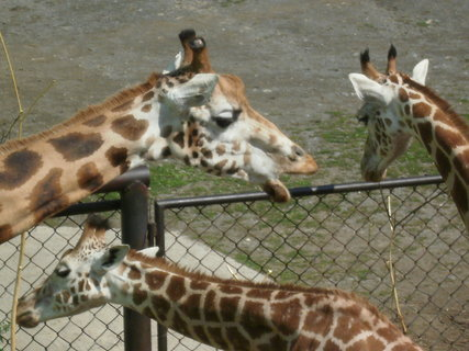 FOTKA - žirafy při obědě