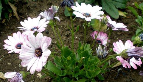 FOTKA - Osteospermum*