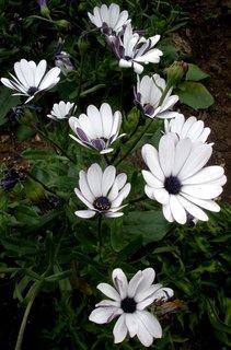 FOTKA - *Osteospermum*